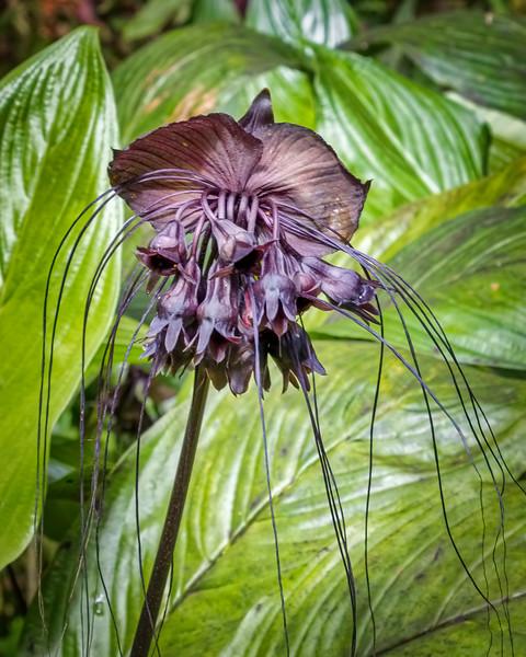 Bat Plant, Hawaii Tropical Botanical Garden, Hawaii