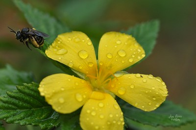 Not only did I see rain drops on the flower but also a bee.