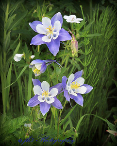 Columbine - Dumount Lake ( Park Range) near Steamboat Springs