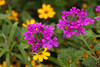 2100 - Verbena Flowers