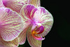 Moth orchid, white and purple stripped