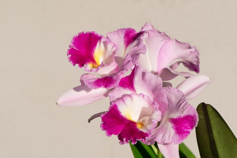 Cattleya Memoria Jerome Shultz 'Bette' x Rlc. California Girl 'Orchid Library'