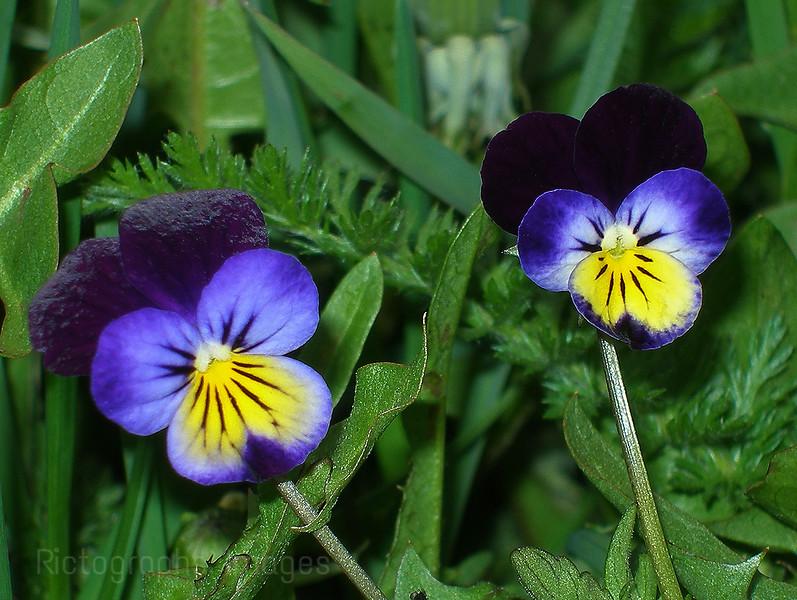 Violas Growing Wild