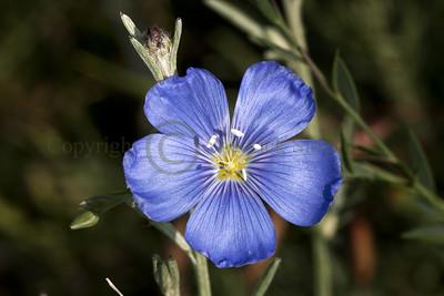 091952 Blue Flax