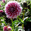 Dahlia in the sun..<br /> Swan Island Dahlia, last of the season.<br /> He was taking out the tractor to raze the field...