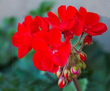 Red flowers & buds Coeur D'Alene 787