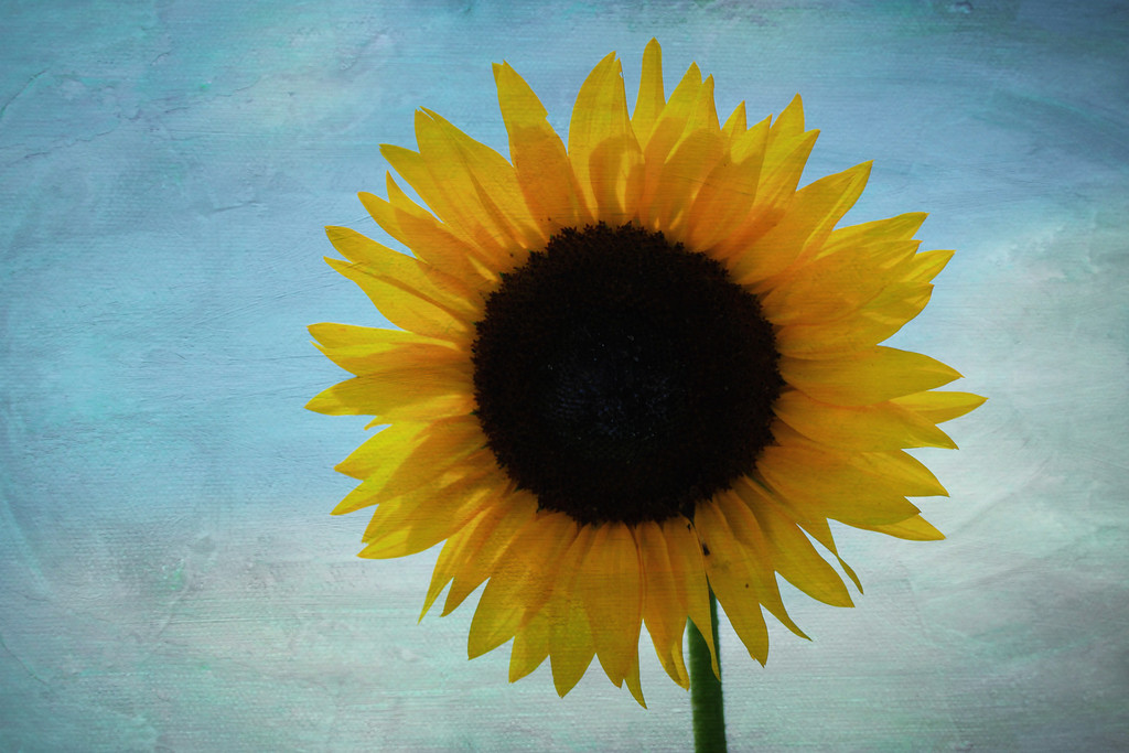 sunflower on paint
