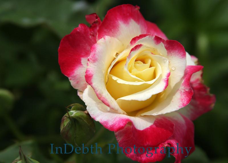 2394 - Rose