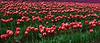Tulips, Mount Vernon, Washington
