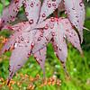 Purple-leaved Japanese maple.