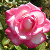 Rose- California Dreamin, Hybrid Tea