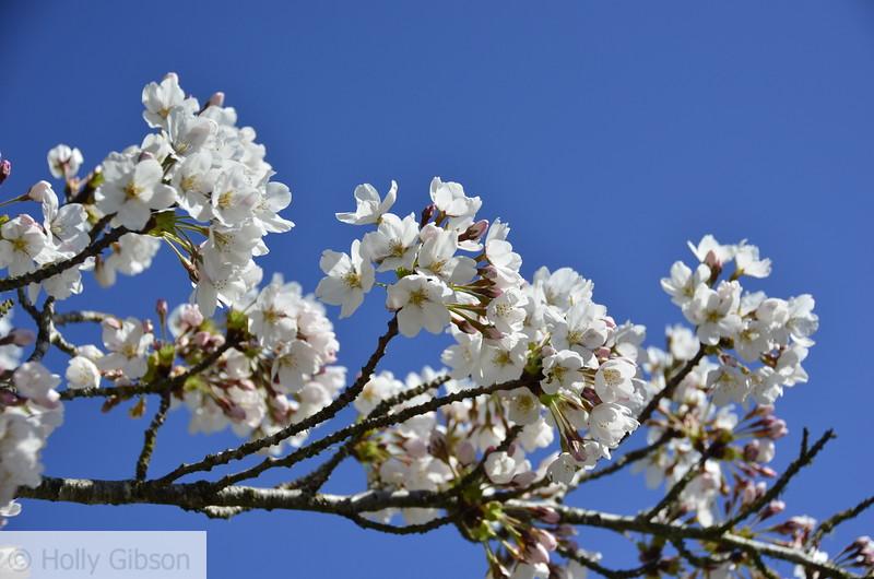 White tree blossoms - 176
