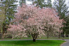 Beautiful flowering tree at Coindre Hall in Huntington,NY.