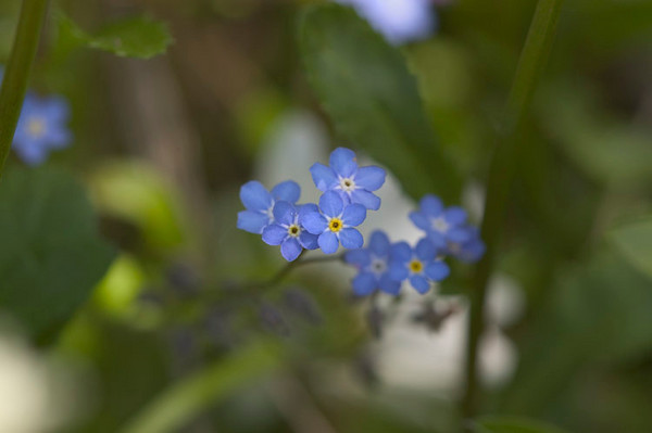 Forget-me-not...the Alaska State Flower....photographed at Cheney Lake in July 2006.