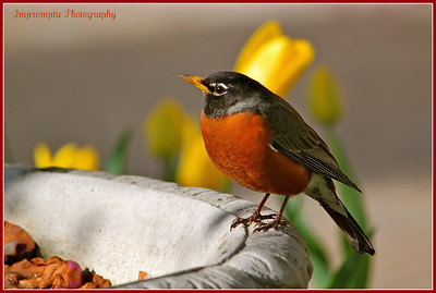 March 27, 2012. Plump robin on the side of a planter.
