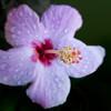 Hibiscus genevii<br /> Royal Botanic Gardens Sydney
