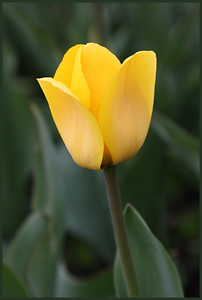 Lemon Yellow Tulip 0098