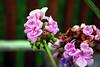 Flowers from Geri's yard