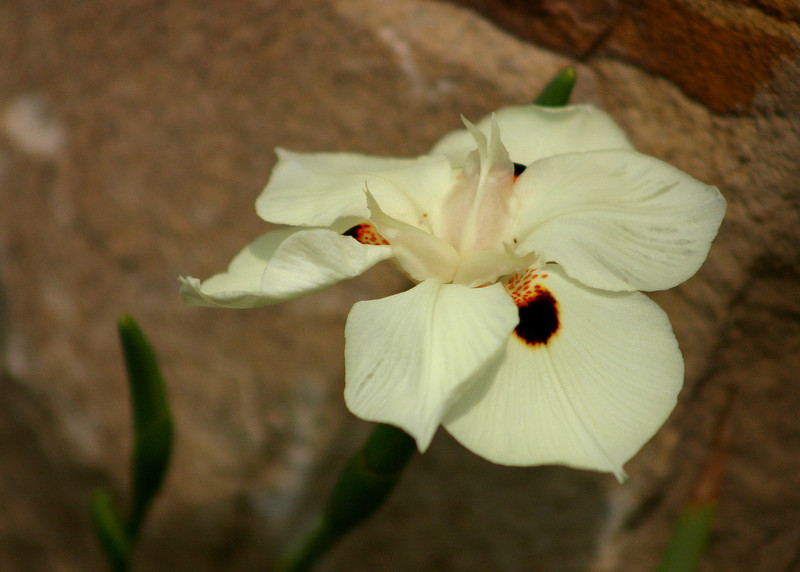 7242 - Day Lily Flower