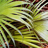 Palm Fronds, Grassy Waters north Palm Beach