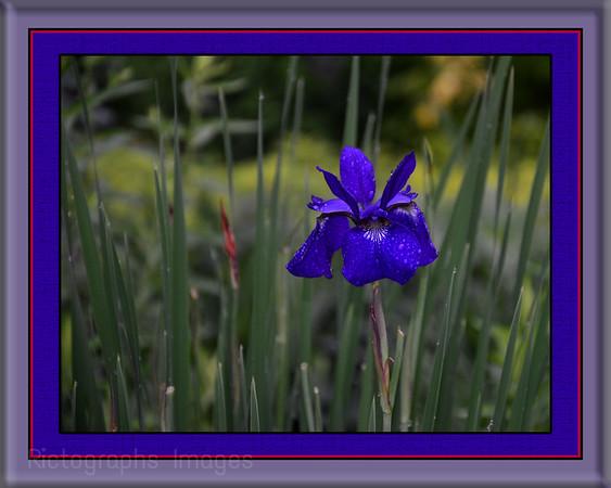 Blue Iris Cultivar
