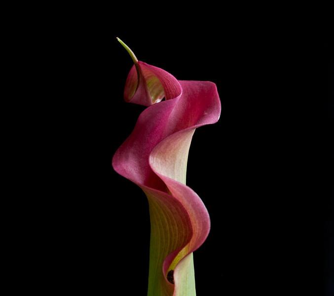 """<font color=""""#e9efb7"""">Dark Pink Calla Lily"""