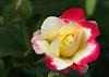 2392 - Rose