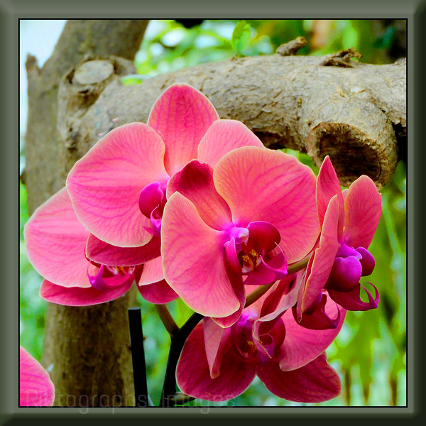 Beautiful Pink Orchids,