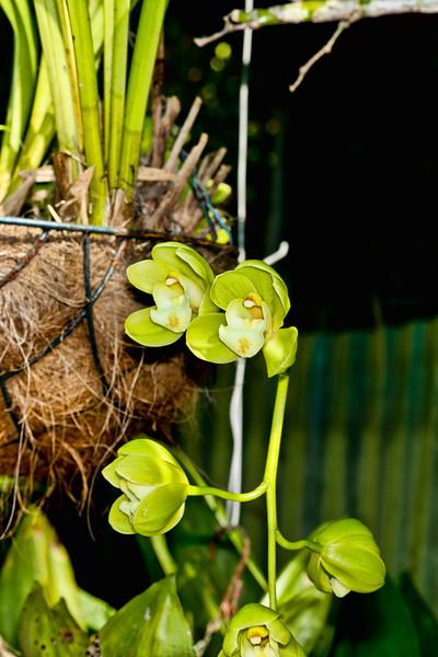 Cascading Cymbidium Orchids