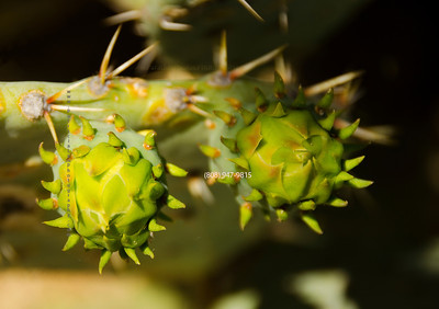 cactus buds 5693
