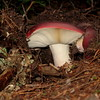 Busting out!<br /> A mushroom or two are caught erupting from the forest floor.<br /> Close up with gills and a red top.<br /> Not sure which one this is...