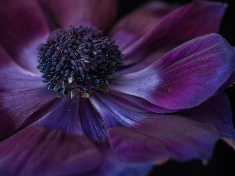 "<font color=""#e9efb7"">Dark Purple Anemone"