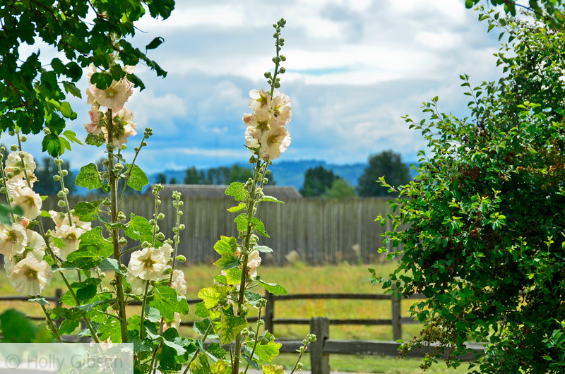 Hollyhocks at Ft. Vancouver garden - 203