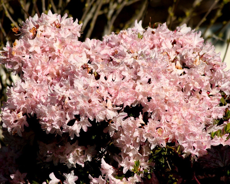 Pink Rhody just covered in flowers..the long wet spring made these guys happy!
