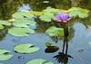 1641 - Water Flower