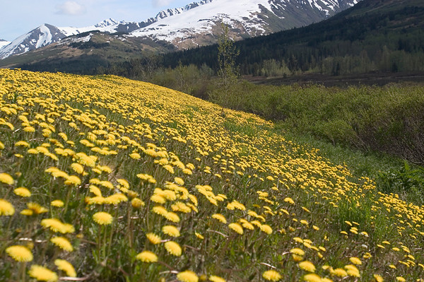 These Dandelions wer photographed along the Seward Highway between Anchorage and Seward during June 2006.
