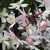 Star jasmine (??) in front of wrought iron - 90