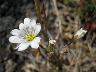 Field Chickweed - Cerastium arvense