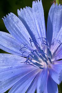 091913 Chicory