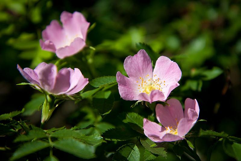 Heckenrose (Lobau)