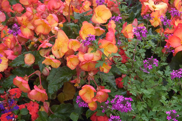 These brightly colored flowers were photographed about mid-summer near the Loussac Library in midtown Anchorage, Alaska.