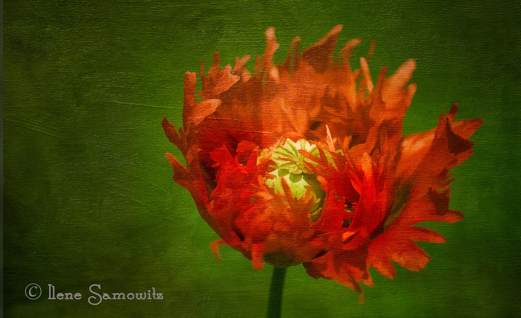 6-17-13 Poppy Dreaming - this was taken yesterday at Birch Bay State Park, Washington along the northern part of Puget Sound.  There was an area that had opium poppies along the edge of the grassland near the beach.  I processed this using Topaz Simplify, Color Effex Pro, and added a texture.