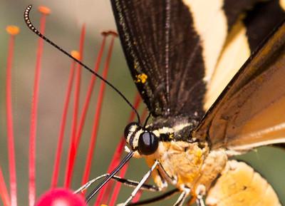 Shallowtail Butterfly on Antena Lantana 1308 C