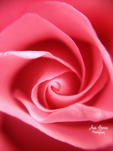 Pink Rose Closeup  | Florida Nature, Landscape Photographer, Home Decor Prints, Flowers