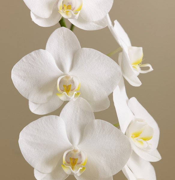 Five white orchids against brown background.