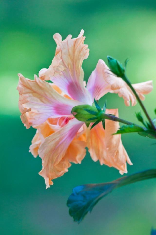 Orange hibiscus 2 IMG_5827