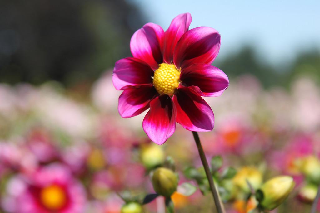Blushing Dahlias