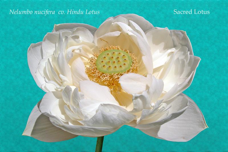 Lotus flower.<br /> Royal Botanic Gardens, Sydney, Australia.