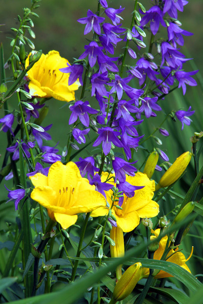 Creeping Bellflower with Daylily <br /> Elm Bank <br /> © WEOttinger, The Wildflower Hunter - All rights reserved<br /> For educational use only - this image, or derivative works, can not be used, published, distributed or sold without written permission of the owner.