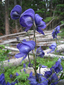 Mountain Monkshood - Aconitum delphiniifolium